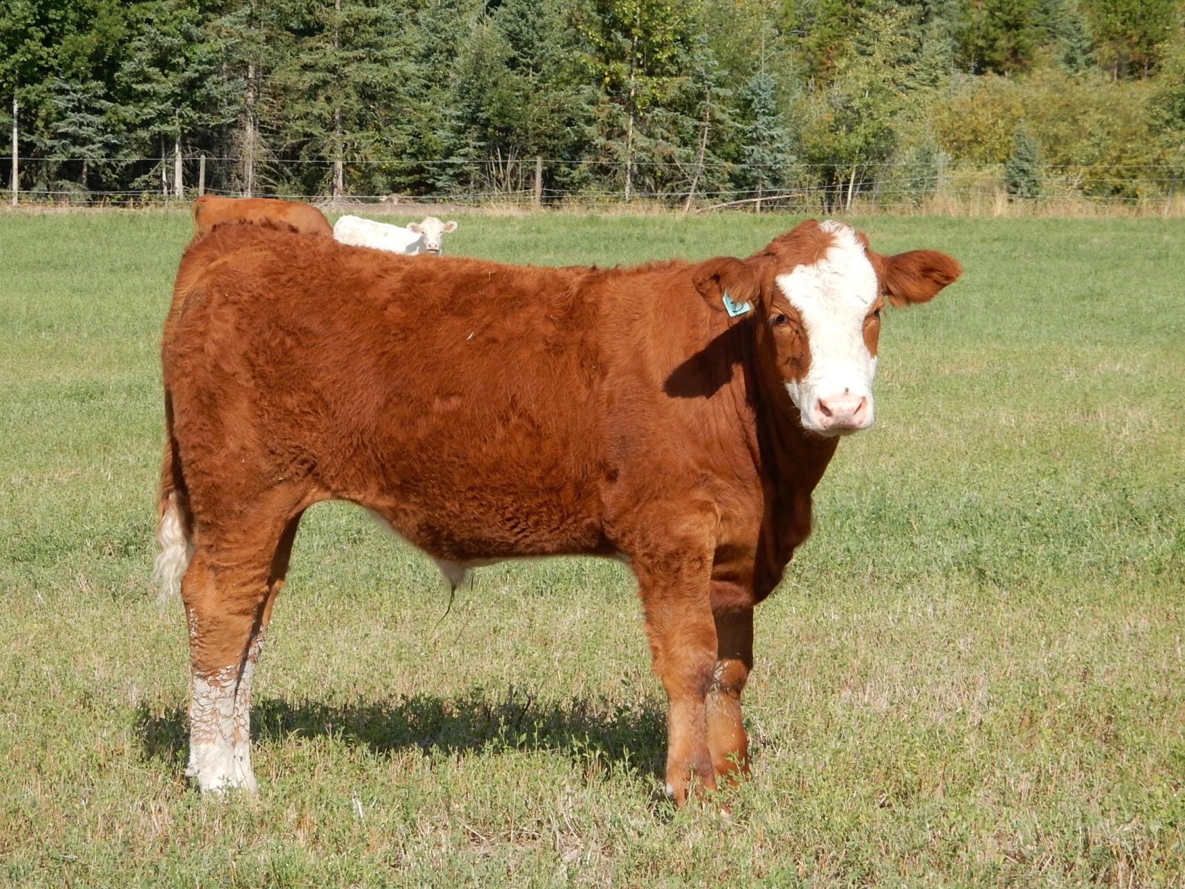 BC Livestock Sale Image